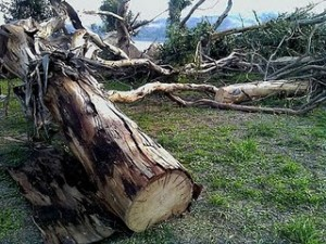 One of the trees recently felled at Glen Cove under direction of GVRD